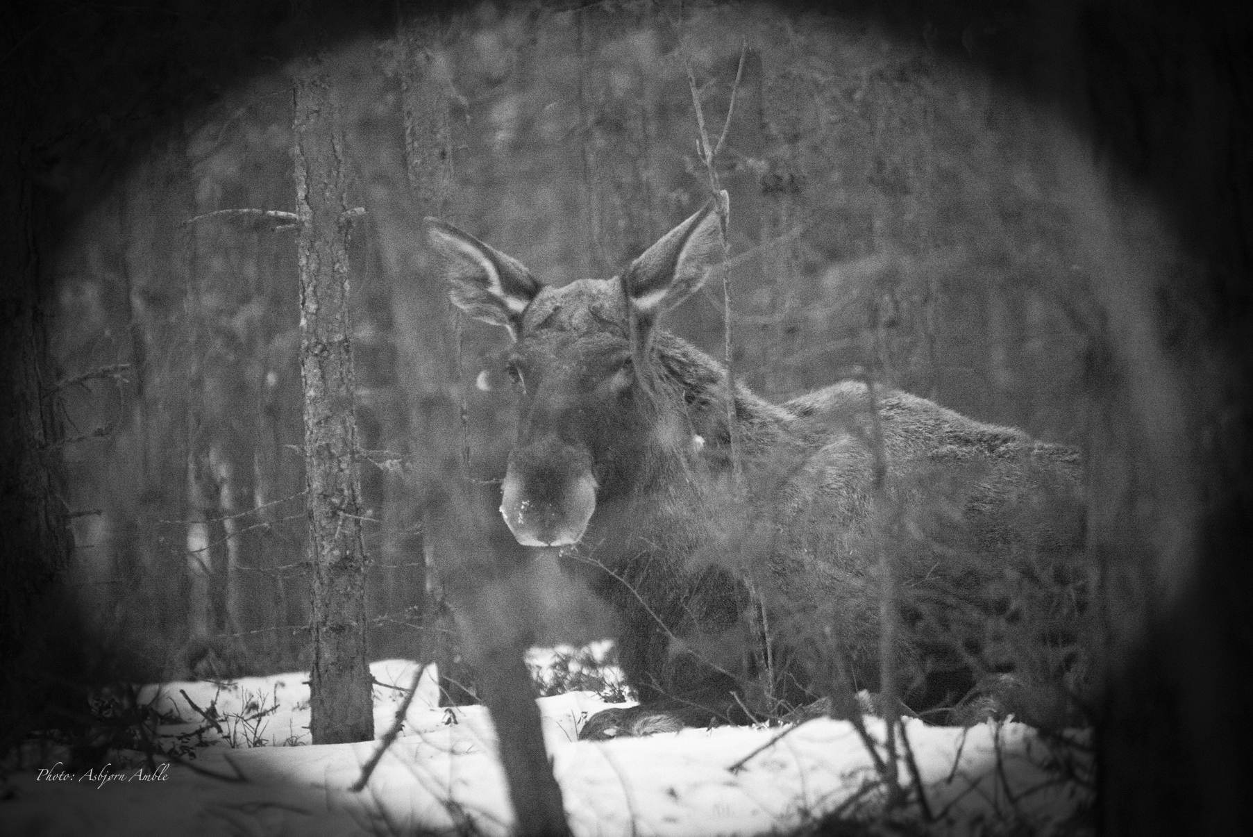 Elg2 2015 03_83 Resting Moose 1BW
